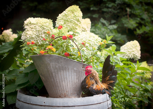 Valokuvatapetti Rooster with Flowers