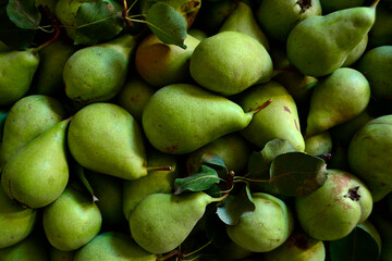 freshly picked pears are in a box