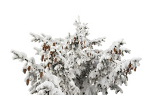 Christmas Tree ( Spruce ) With Cones Covered Of Snow On A White Background With Space For Text