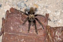 Brown Desert Tarantula Crawlin...