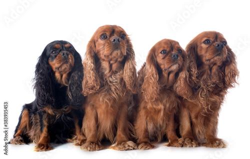 Fotografie, Obraz four cavalier king charles