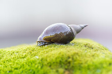 A Large Snail Crawls On A Rock