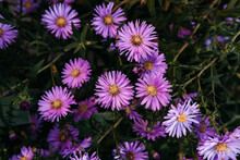Many Home Seasonal Perennial Flowers, October Lilac. Pink Autumn Aster Flowers With A Yellow Center Close-up. Horizontal Desktop Background With Beautiful Little Purple Asters.