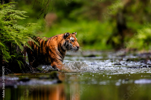 Photographie The largest cat in the world, Siberian tiger, hunts in a creek amid a green forest