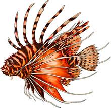 Lion Fish Color Vector Illustr...