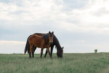 The Horse Grazes On A Green Lawn In Cloudy Weather. Cloudy Sky