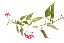 Bittersweet (Solanum Dulcamara) Branch With Ripe Red Berries And Green Leaves Isolated On White Background