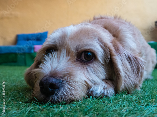 Bored and melancholic dog in the garden of the house looking at the camera Canvas Print