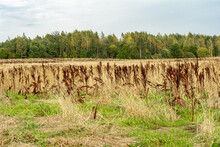 Field With Yellow Dry Grass An...