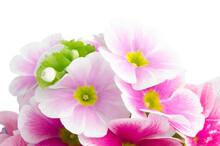 Closeup Of Pink Primrose