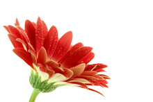 Bright Pink Gerbera Daisy With Dew Over White