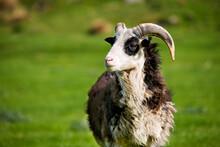 Sheep Ram