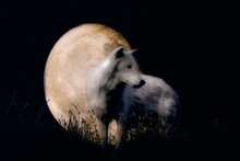 Wolf Howling On The Moon