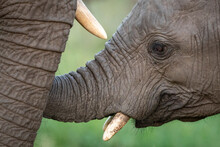 Close Up On Young Elephant's F...
