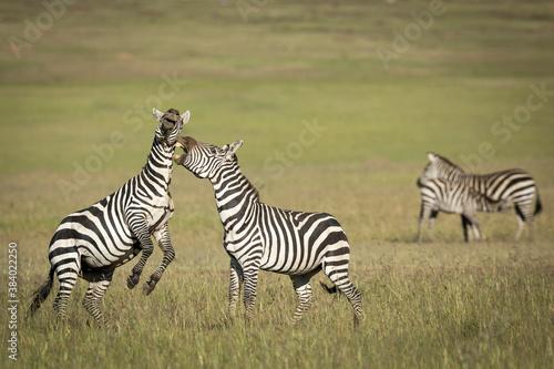 Naklejka premium Two zebra fighting and biting each other in Masai Mara in Kenya