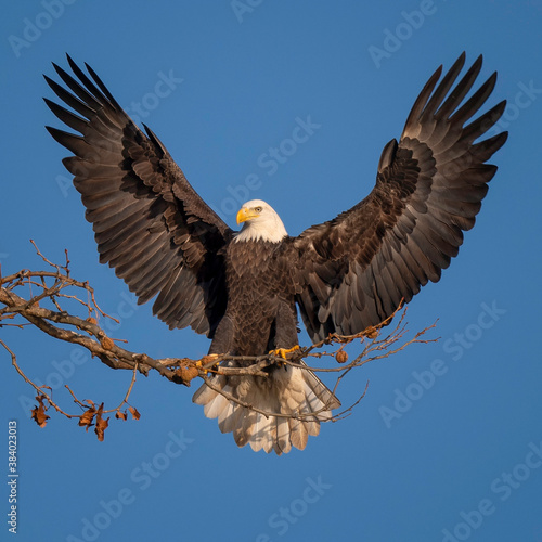 Fotografia, Obraz American Bald Eagle with outstretched wings in Maryland.