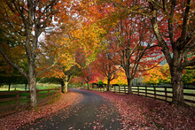 Color Fall Trees Line Driveway...