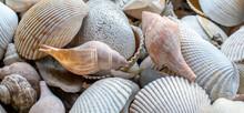 Sea Shells Of Many Shapes And ...