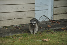 One Cute Raccoon Stand In Fron...