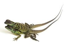 Juvenile Sailfin Dragon Lizard (Hydrosaurus Weberi) Isolated On White Background