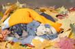 Dachshund puppy wearing warm hat and kitten hugging toy bear lie together under warm blanket in autumn foliage