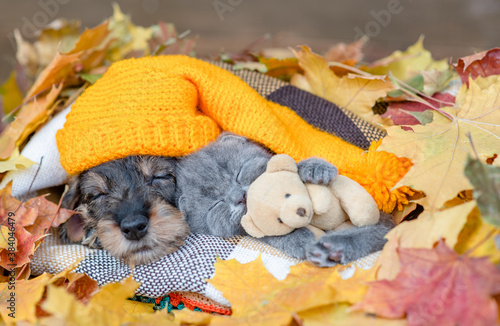 Dachshund puppy wearing warm hat and kitten hugging toy bear lie together under warm blanket in autumn foliage