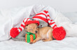 Toy terrier puppy hugs gift box and sleeps on a bed at home with british kitten. Pets wearing warm hats lie together