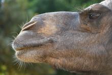 Closeup Profile Of A Dromedary Camel, Camelus Dromedarius, Or Somali Camel Or Arabian Camel.