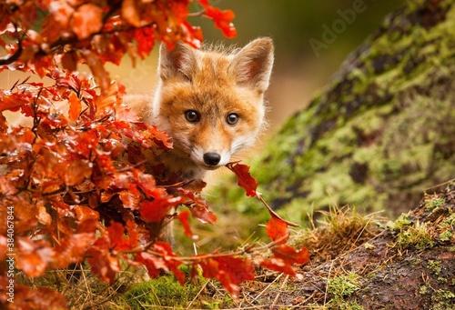 red fox in the wild Billede på lærred