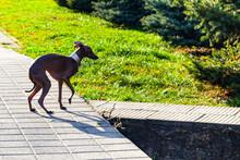 Dog Breed Italian Greyhound