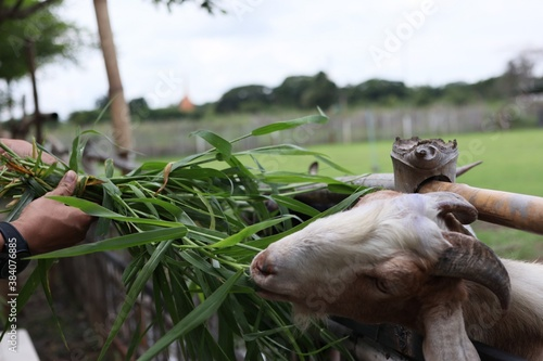 Photo goat in a farm