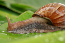 Side View Of Achatina Fulica B...