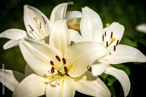 Beautiful white Lily Flowers in a garden with a green background. Macro photography.