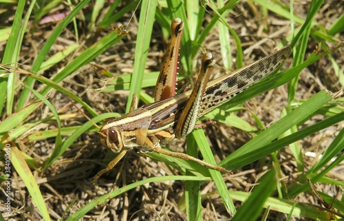 Photo Tropical grasshopper on the grass