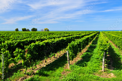 Fotografie, Obraz Vineyard