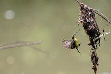 Olive Backed Sunbird(Yellow-be...