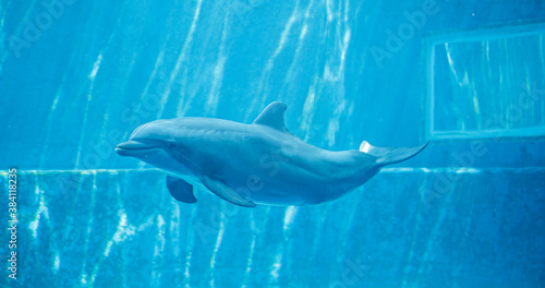 Fotografering bottlenose dolphin swims happy in big aquarium