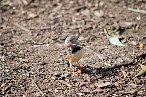 Naklejka premium the zebra finch is picking up bits for its nest