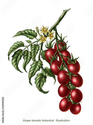Fotografia Grape tomato branch botanical vintage engraving illustration clip art isolated o