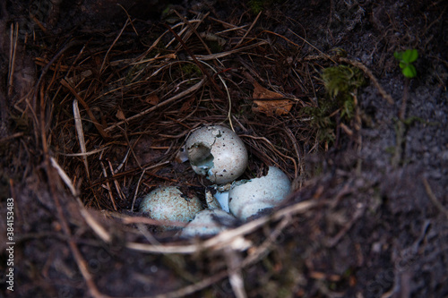 Canvas Print Broken eggshells in a Blackbird nest during breeding season in spring in Estonian boreal forest, Northern Europe