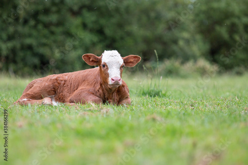 Canvas brown and white calf, laying on the grass, staring at you.