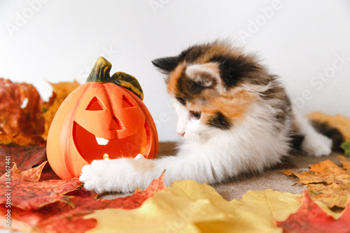 cute black-white-red kitten for Halloween with a pumpkin on a plaid