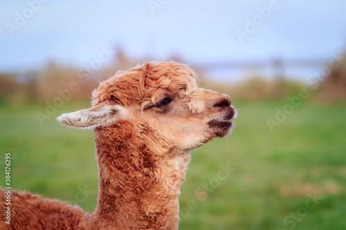 Naklejka premium close up head of new zealnd alpaca against green blur background