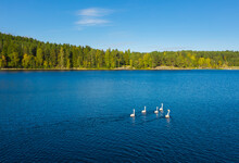 White Swans On The Blue Lake. ...