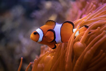 Orange Clownfish Swimming Near...