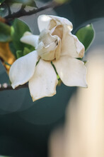 Gardenia Bush With A Sad Flowe...