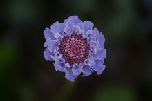 Sreading Scabius- Scabiosa Columbaria Viewed From The Top