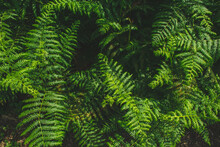 Green Ferns In The Forest In G...