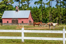 Horses Grazing In A Pasture In...