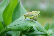 Grasshopper (Lat. Tettigonia C...